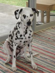 Baylee Dalmation dog transport to Abu Dhabi