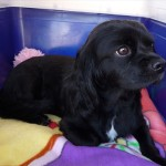 Cavalier King Charles Spaniel transport from Auckland to Darwin