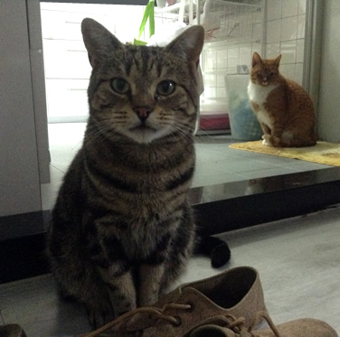Taka – Domestic Short Hair Cat transport from NZ to Hong Kong