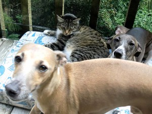 Italian Greyhounds and Manx Cat transport from NZ to Australia