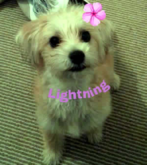 Jack Russell Bichon Frise dog transport from NZ to Hong Kong