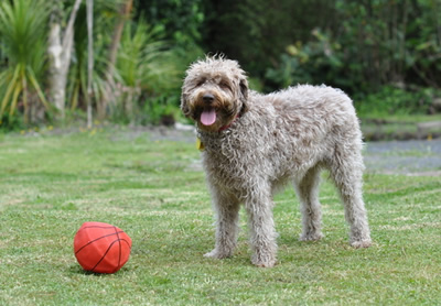 Labradoodle transport from NZ to London Heathrow UK