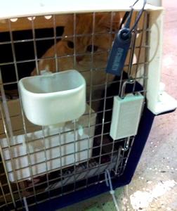 Scottish Variant Kitten transport from NZ to Honolulu Hawaii