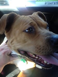 Staffordshire Terrier transport from NZ to Melbourne Australia