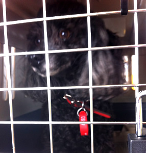 Topsy Toy Poodle transport from NZ to Perth, Australia