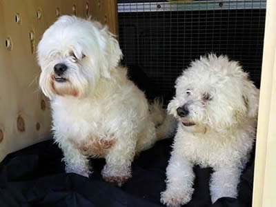Bichon Cross Dogs transport from NZ to Australia