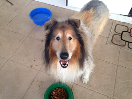 Rough Collie pet transport from NZ to Cairns Australia