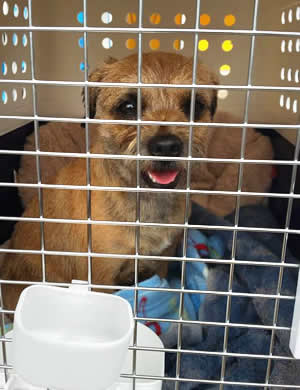 Border Terrier dog transport from NZ to Los Angeles USA
