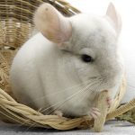 Chinchilla's from Great Britain can come to New Zealand