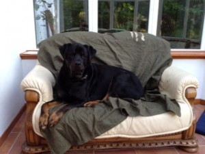 Cru Rotweiller dog transport NZ to UK