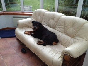 Gaige rotweiller dog travel from NZ to UK