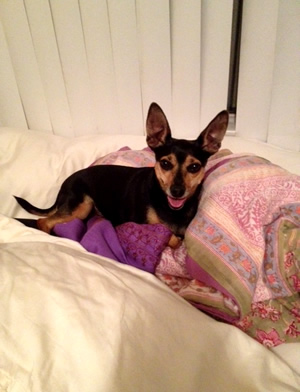 Miniature Pincher Chihuahua transport from NZ to Los Angeles USA