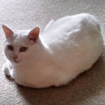 Pet transport cat to the UK