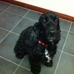 Tui Cocker Spaniel Dog to the UK