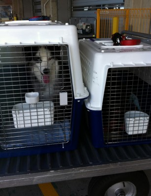 Australian Shepherd transport from NZ to Los Angeles, USA