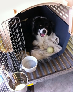 border collie dog transport from NZ to vancouver canada