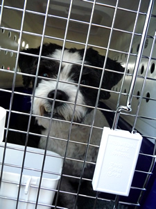 shih tzu bichon frise dog transport from NZ to London Heathrow UK