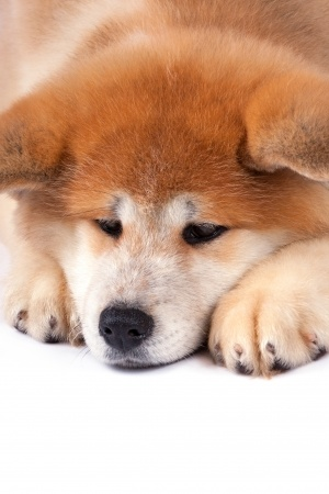 pet transport dog to japan