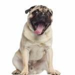 pet transport for snub nosed breeds