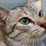 Transporting a pet cat to Malaysia