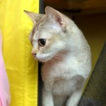 transport a cat to Singapore