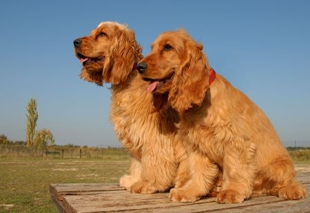 cocker spaniel breeders