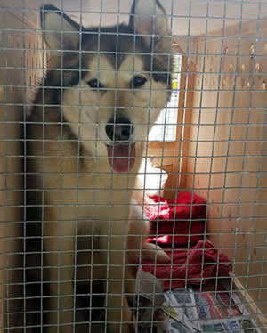 Alaskan Malamute dog transport from NZ to Australia