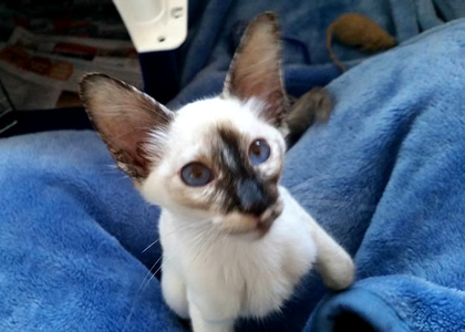 Balinese Kitten pet transport from NZ to Adelaide Australia