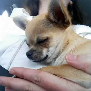 Chihuahua dog transport from NZ to Brisbane Australia