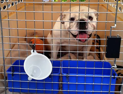 English Bulldog transport from NZ to Sydney Australia