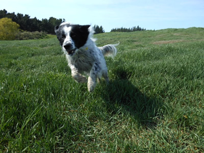 Border Collie from Auckland NZ to USA