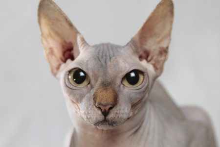 Hairless breeds produce less allergens